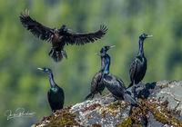 Pelagic Cormorant, Phalacrocorax pelagicus, Vancouver Island, British Columbia, Canada, Summer, Pacific Ocean