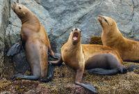 Steller Sea Lion, Eumetopias jubatus, Sea Rocks, Johnstone Strait, Vancouver Island, Pacific Ocean, British Columbia, Canada, Summer