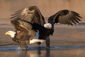 Bald Eagles Spreading Wings