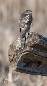 Cooper's Hawk, Juvenile, Accipiter cooperii, British Columbia, Canada, Spring