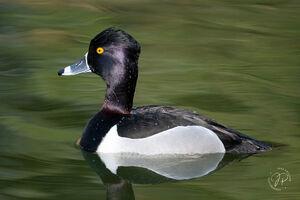 Ring-necked Duck ( Breeding Male )