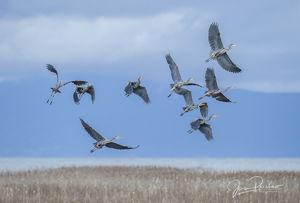 Pacific Great Blue Herons, Ardea herodias fannini, George C. Reifel Migratory Bird Sanctuary, Fraser River, The Strait of Georgia, British Columbia, Canada, Pacific Ocean, Spring