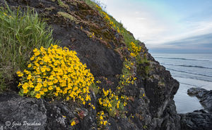 Yellow Monkey Flower, Mimulus guttatus, Long Beach, Incinerator Rock, Pacific Rim National Park Reserve, Vancouver Island, British Columbia, Pacific Ocean, Canada, Spring, Sunset