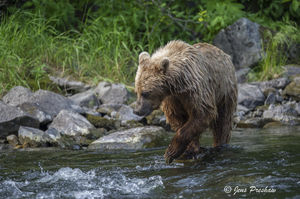 Grizzly Bear, Fishing, River, British Columbia, West Coast, Canada, Summer