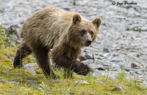Grizzly Bear, Cub, Riverbank, Grasses, River, British Columbia, Western Canada, Summer