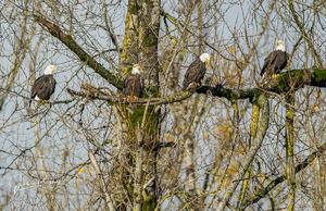 Bald Eagles, Adult, Haliaeetus leucocephalus, Nicomen Slough, British Columbia, Canada, Fall