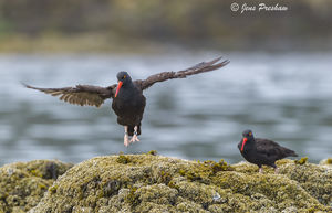 Black Oystercatcher, Haematopus Bachmani, Wickaninnish Beach, Pacific Rim National Park Reserve, Vancouver Island, Tofino, British Columbia, Canada, Pacific Ocean, Summer