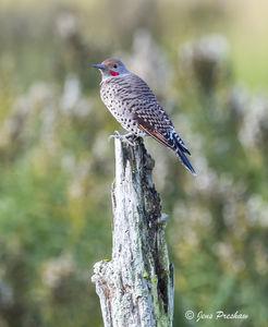 Northern Flicker, Red Shafted, Male, Colaptes Auratus, George C. Reifel Migratory Bird Sanctuary, Delta, British Columbia, Canada, Sunrise, Autumn