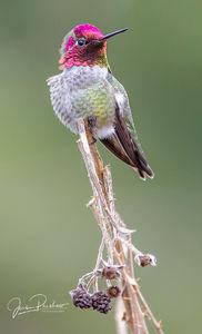 Anna Hummingbird, Calypte anna, British Columbia, West Coast, Winter, Canada
