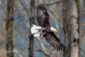 Bald Eagle, Haliaeetus leucocephalus, Adult, Fall, Autumn, Talons, Feathers, British Columbia, Canada