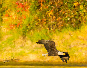 Bald Eagle, Adult, Haliaeetus leucocephalus, Riverbank, Red Leaves, Bokeh, Nicomen Slough, British Columbia, Canada, Fall
