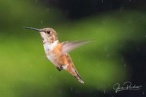 Rufous Hummingbird, Adult, Selasphorus rufus, Gwaii Haanas National Park Reserve, Haida Gwaii, British Columbia, Canada, Summer, Rain