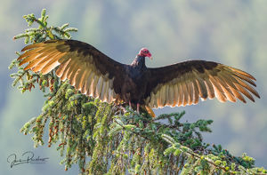 Turkey Vulture, Cathartes aura, Carrion, Pacific Rim National Park Reserve, Grice Bay, Tofino, Vancouver Island, British Columbia, Canada, Summer, Pacific Ocean, West Coast