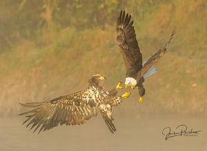 Bald Eagle, Juvenile, Adult, Haliaeetus leucocephalus, Nicomen Slough, British Columbia, Canada, Fall