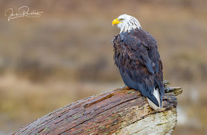 Bald Eagle, Haliaeetus leucocephalus, Driftwood, Rain, Boundary Bay, Delta, British Columbia, Canada, Winter