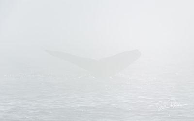 Humpback Whale in the Fog