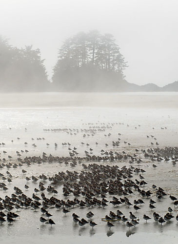 Western Sandpipers At Rest,Fog,Chesterman Beach,Tofino,Vancouver Island,British Columbia,Canada,West Coast,Pacific Ocean,Summer,Travel, photo