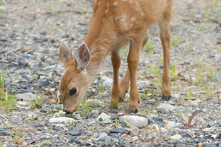 Fawn Grazes On Grass In Pacific Rim National Park Reserve