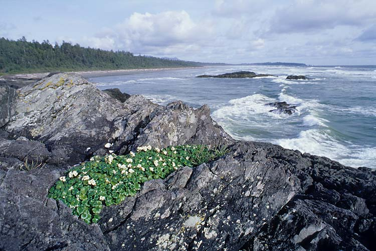 Flowers,Greenpoint,Long Beach,Pacific Rim National Park,Vancouver Island,British Columbia,Canada,West Coast,Pacific Ocean,Summer,Travel, photo