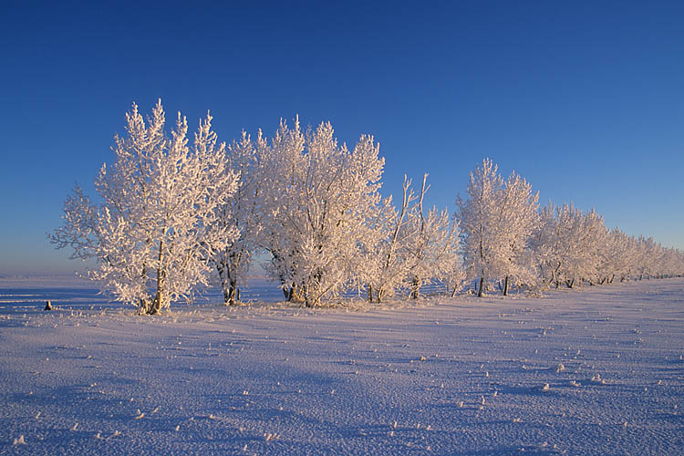 Snowy Trees,Sunrise,Drumheller,Alberta,Canada,Winter,Travel, photo