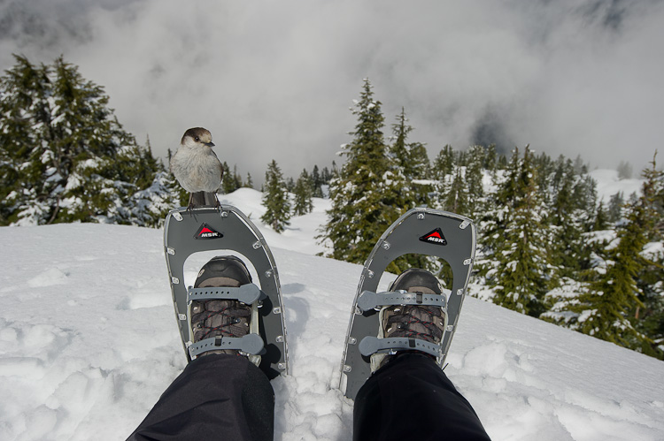 Gray Jay, Whiskey Jack, Snowshoeing, Hollyburn Peak, Cypress Provincial Park, British Columbia, Canada, Winter