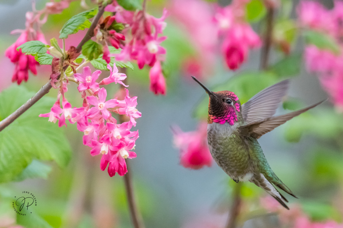 A male Anna's Hummingbird ( Calypte anna ) feeding on nectar. You can see the male's head and throat which is covered in iridescent...