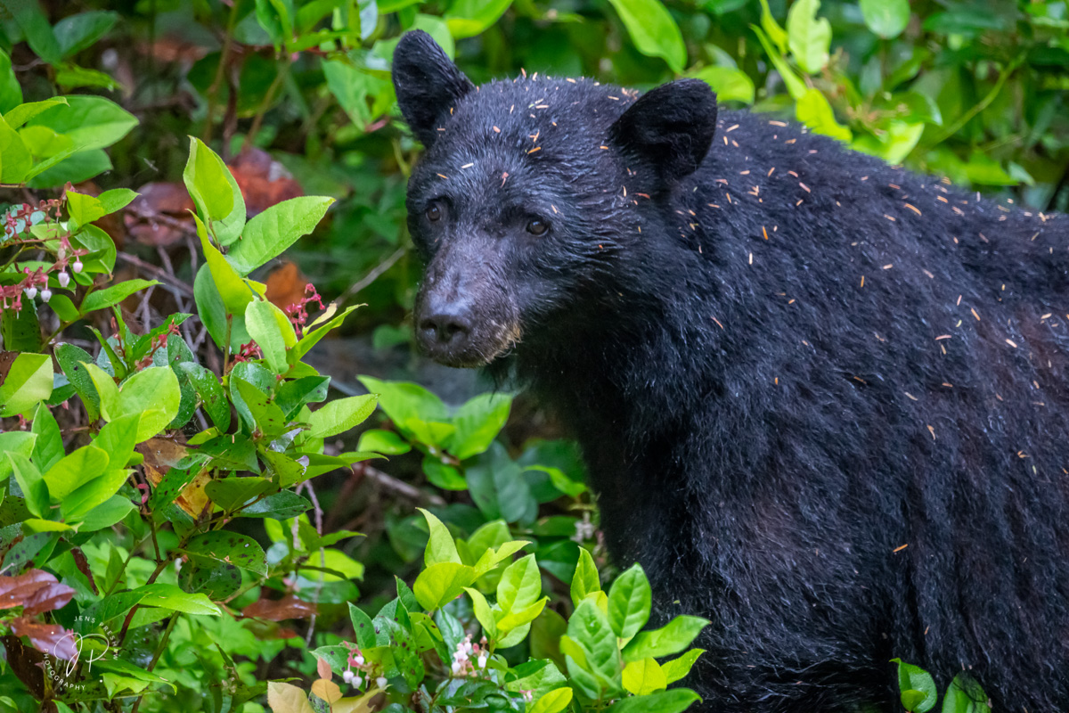 A Black Bear ( Ursus americanus ) forages for food in a Pacific temperate rainforest. The bear was covered in pine needles from...