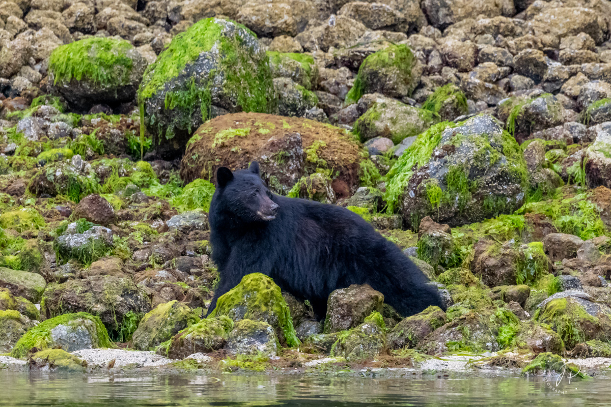 This Black Bear ( Ursus americanus ) was taking advantage of the low tide to feed on small marine creatures in the intertidal...