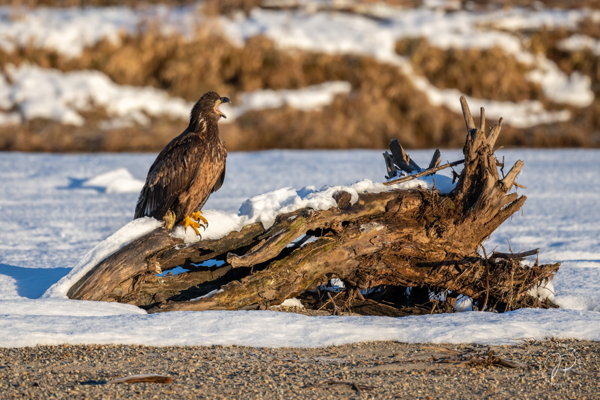 Bald Eagle, Haliaeetus leucocephalus, Juvenile, Screech, Animalscape, Sunrise, River, Winter, British Columbia, Canada, photo
