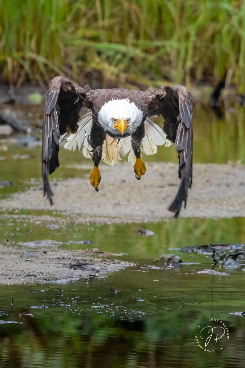 Bald Eagle, Haliaeetus leucocephalus, Takeoff, Downstroke, Tidal Marsh, Pacific Rim National Park Reserve, Vancouver Island, British Columbia, Canada, Summer, photo
