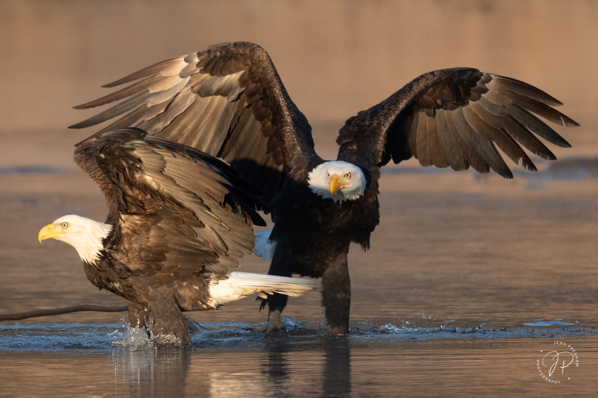 Two adult Bald Eagles ( Haliaeetus leucocephalus ) at sunrise. At one time, the word 'bald' ( balde ) meant white, not hairless...