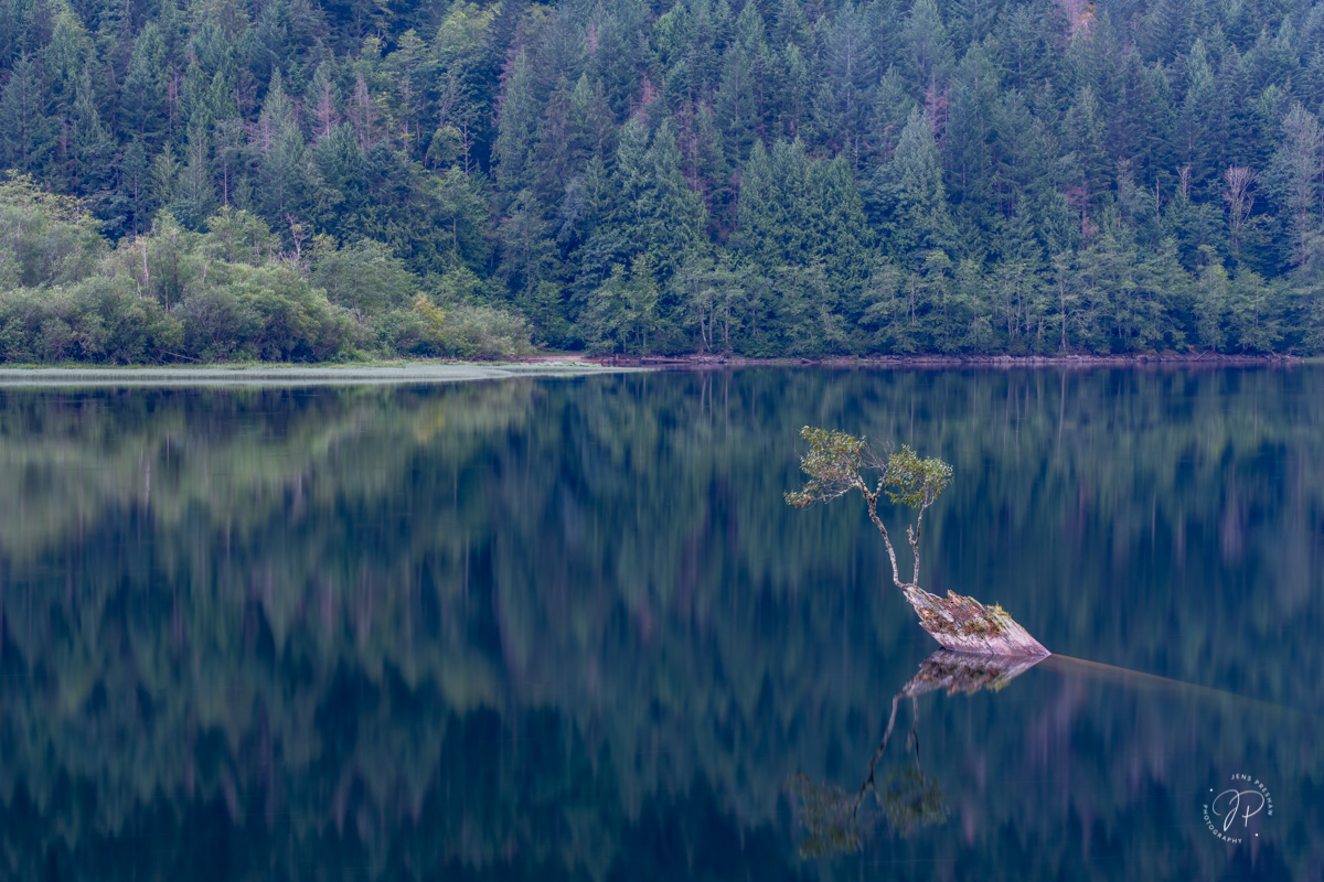 Black Cottonwood, Populus balsamifera, Nurse Log, Silver Lake, Silver Lake Provincial Park, British Columbia, Canada, Summer  , photo