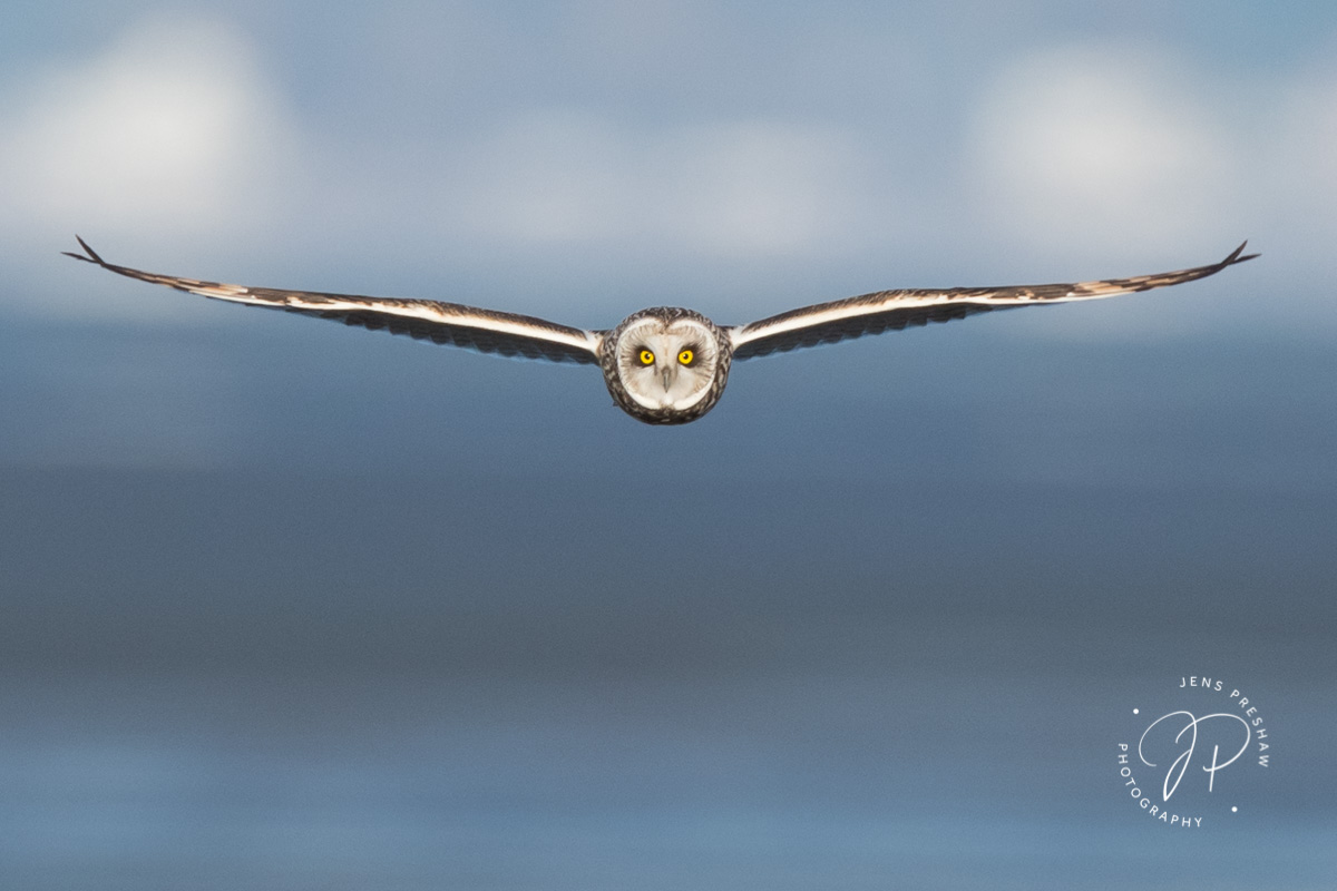 Short-eared Owl, Asio flammeus, Male, Marsh, Vancouver, British Columbia, Canada, photo