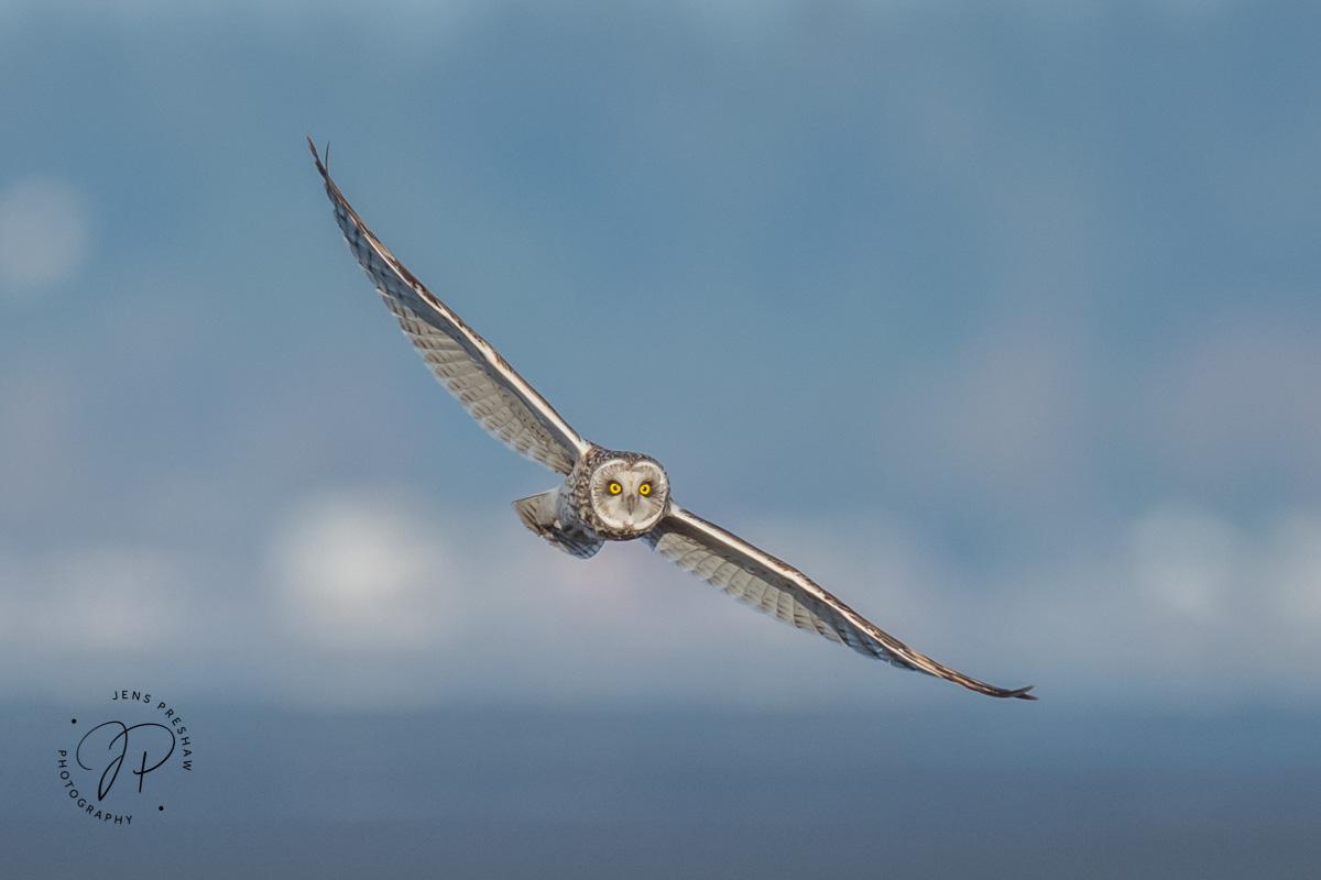 Short-eared Owl, Asio flammeus, Vancouver, British Columbia, Canada, photo
