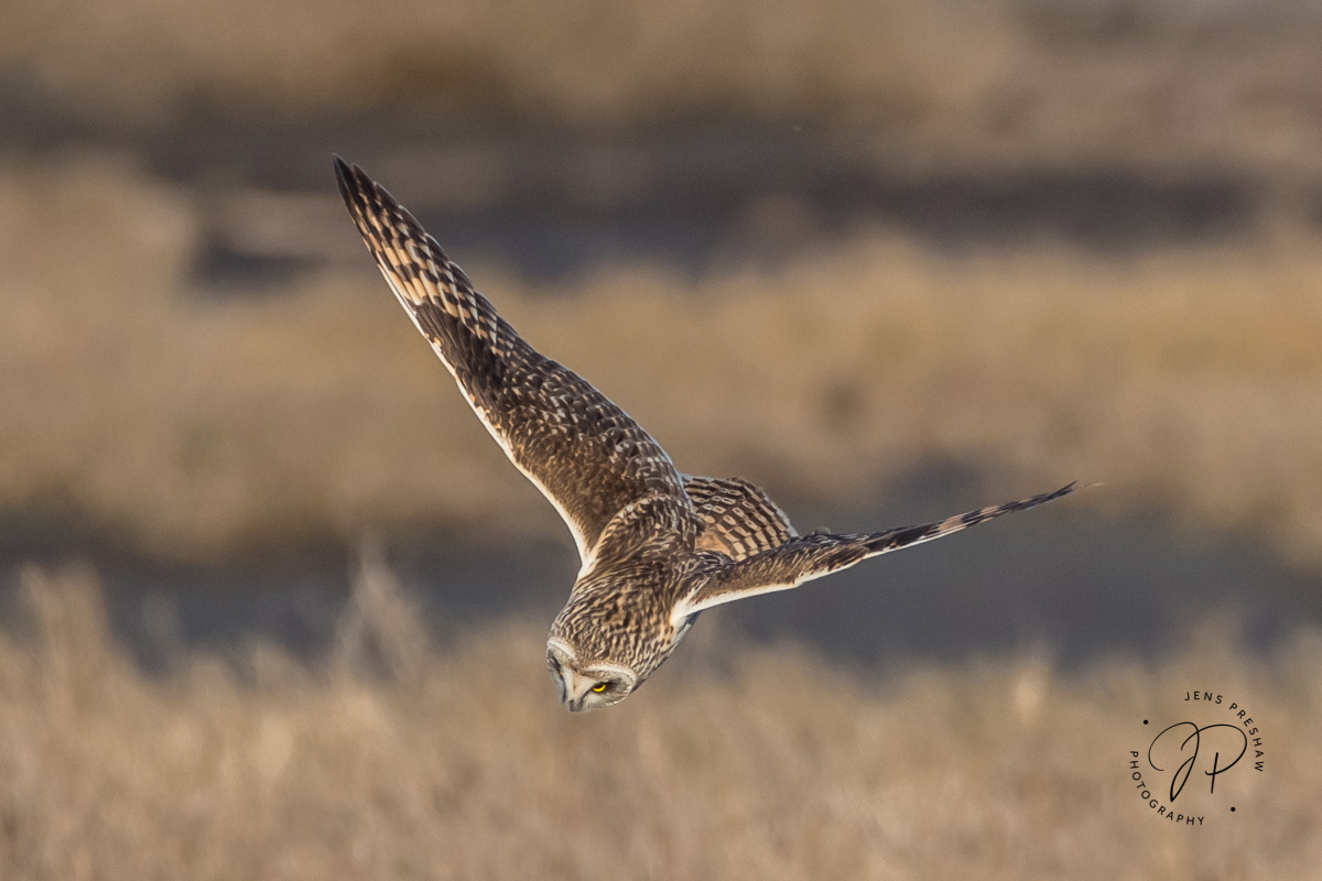 The Short-eared Owl ( Asioflammeus)is the most aerial of all the owls. They are sometimes confused with the...