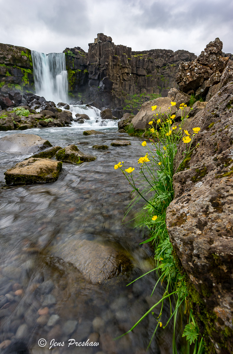 yellow flowers, Oxararfoss, Þingvellir National Park, Southwest Iceland, summer , photo
