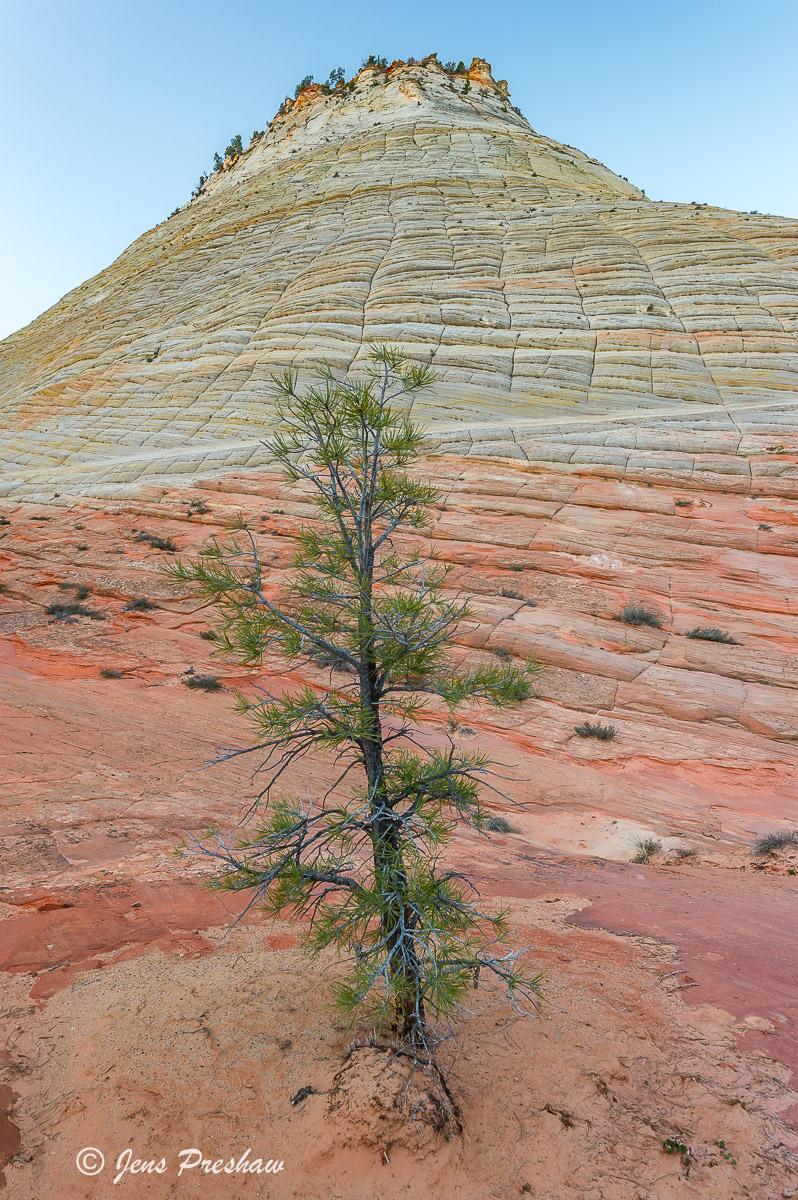 Pine Tree, Checkerboard Mesa, Zion National Park, Utah, USA, Sunrise, Spring, photo