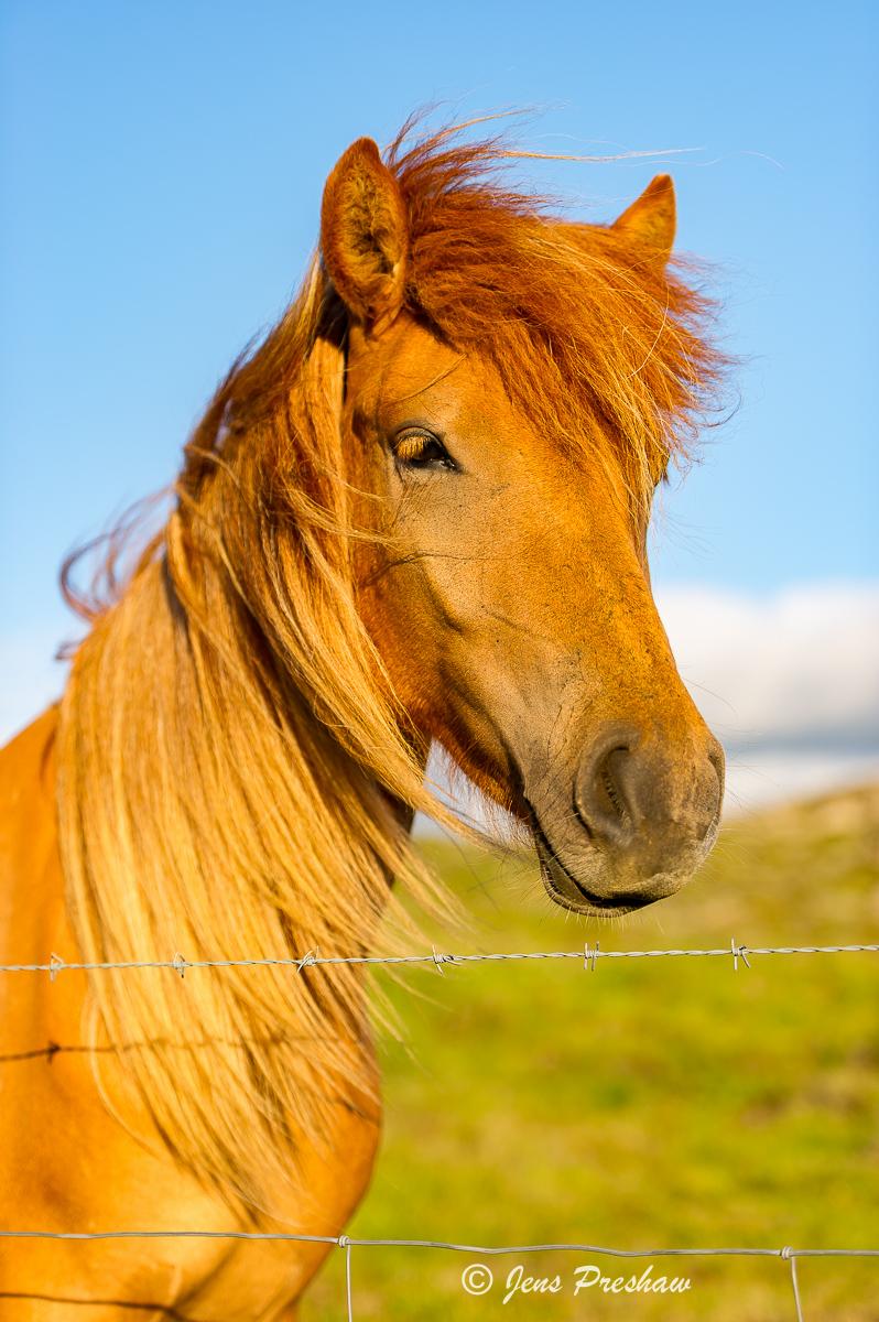 Icelandic horse, sunset, West Iceland, summer, photo