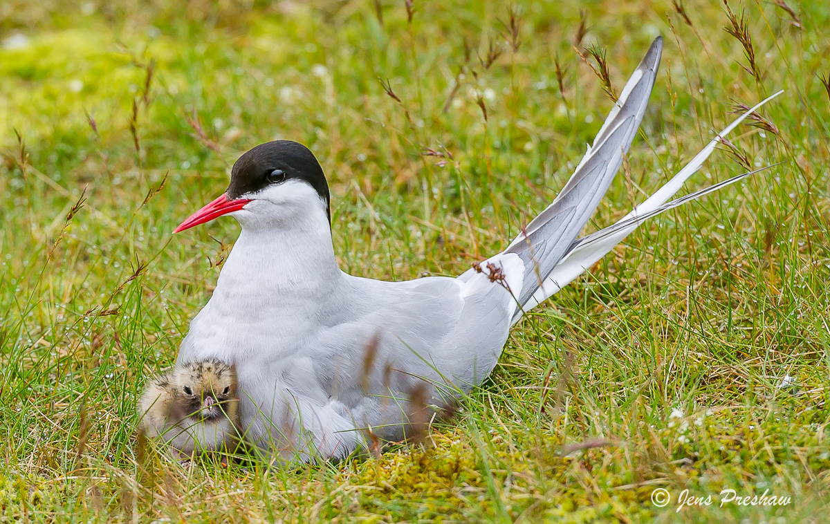 Arctic Tern, Chick, Nesting, Iceland, Summer, Migration, photo