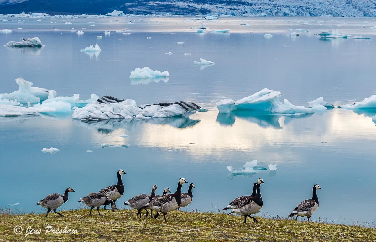 Barnacle goose, geese, Jokulsarlon, glacial lagoon, Vatnajokull National Park, Breioamerkurjokull glacier, Atlantic Ocean, Iceland, photo