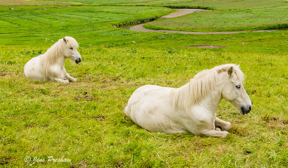 horses, Faroe Islands, summer, photo