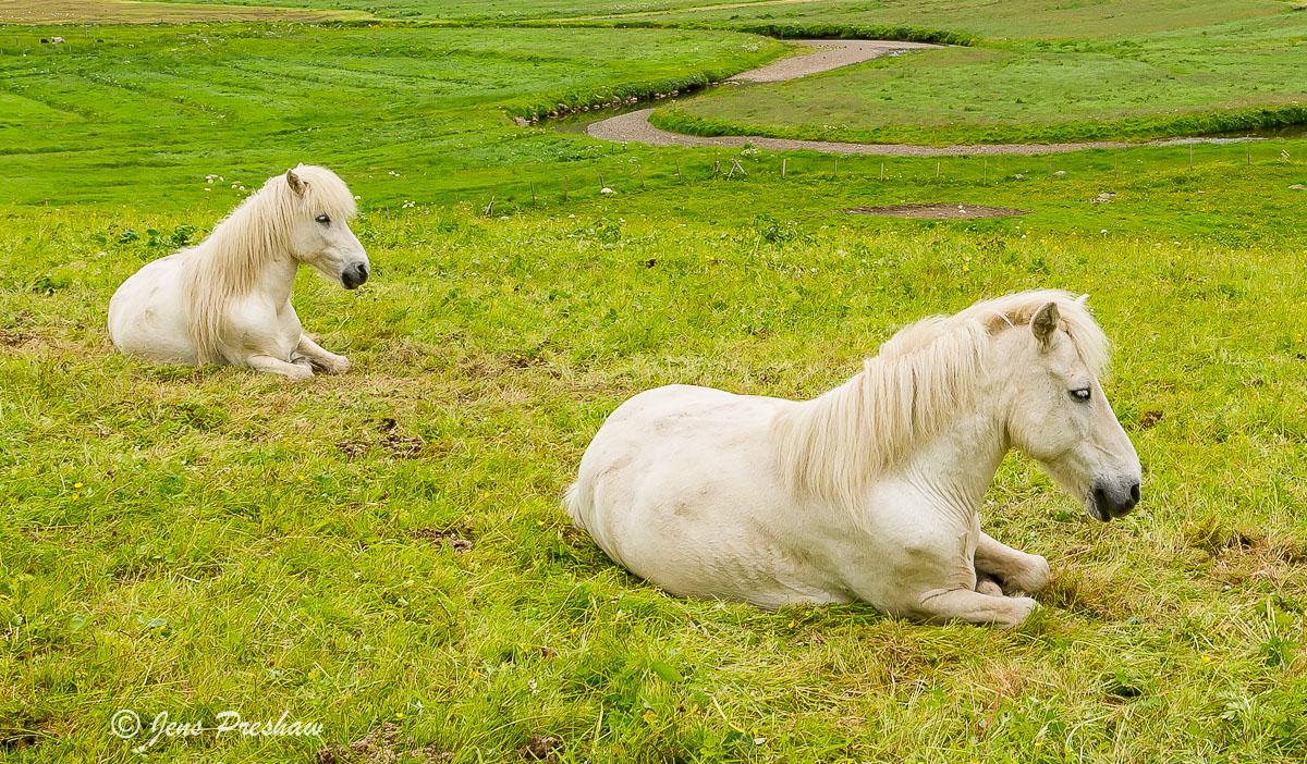 horses, Faroe Islands, summer, photo