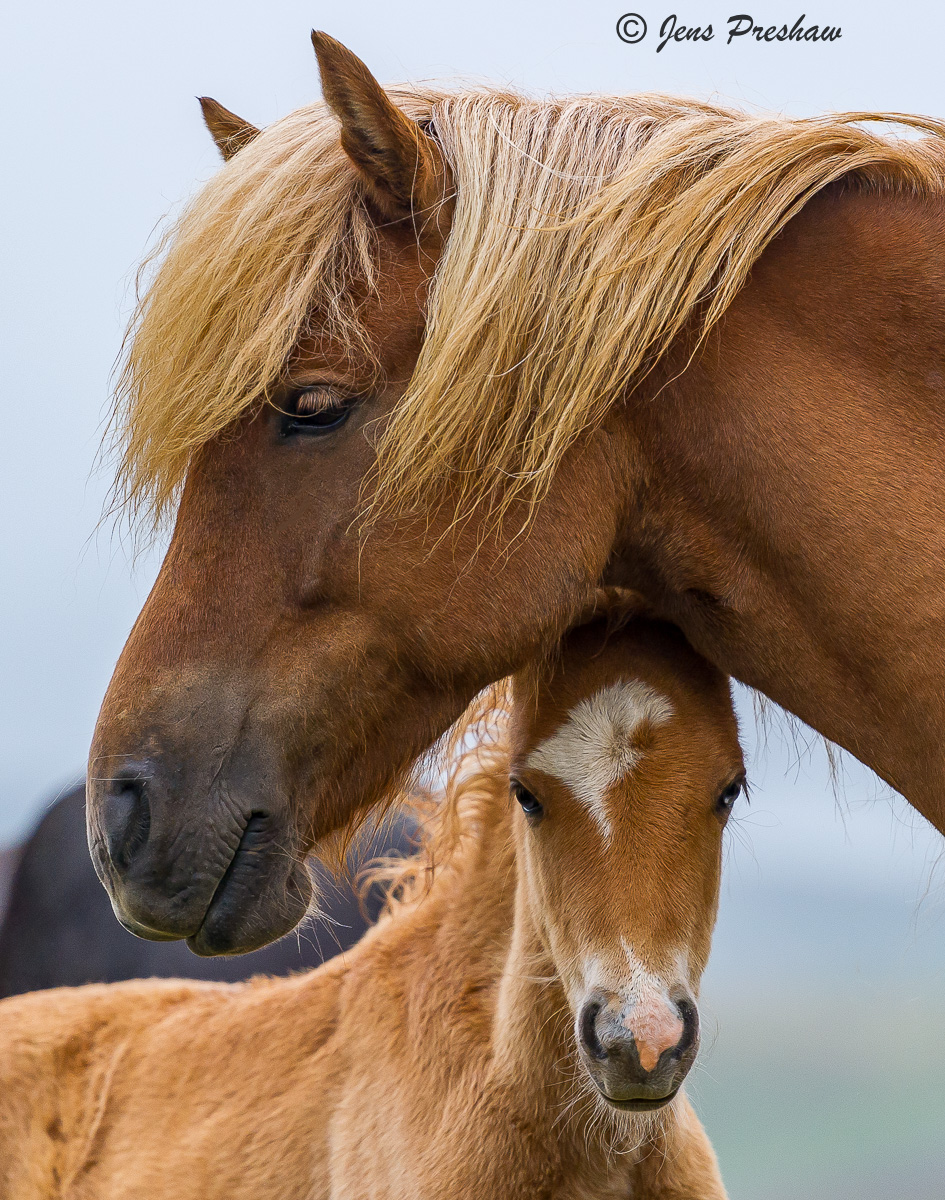 Mare, Foal, Iceland, Summer, photo