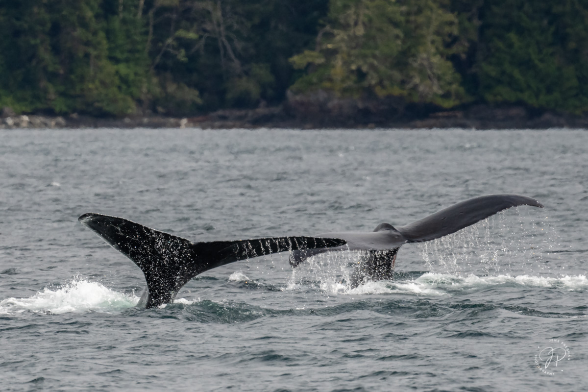 Two Humpback Whales ( Megaptera novaengliae ) begin a dive and display their powerful tail flukes. The flippers of Humpback Whales...