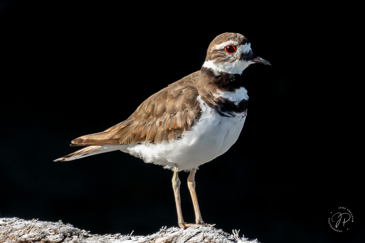 The Killdeer ( Charadrius vociferous ) is a shorebird that gets its name from the shrill, wailing kill-deer call they give so...