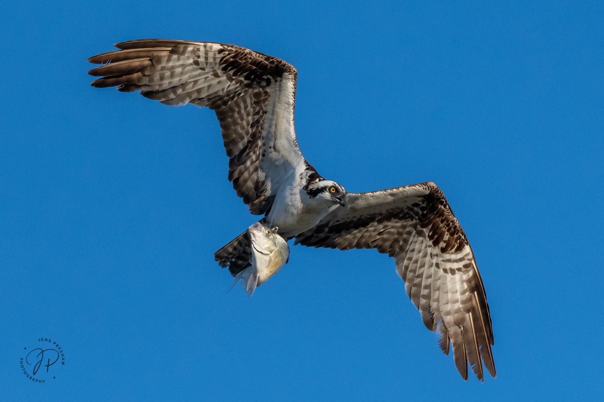 Osprey, Pandion haliaetus, Fish, Pacific Rim National Park Reserve, Vancouver Island, British Columbia, Canada, Summer, photo