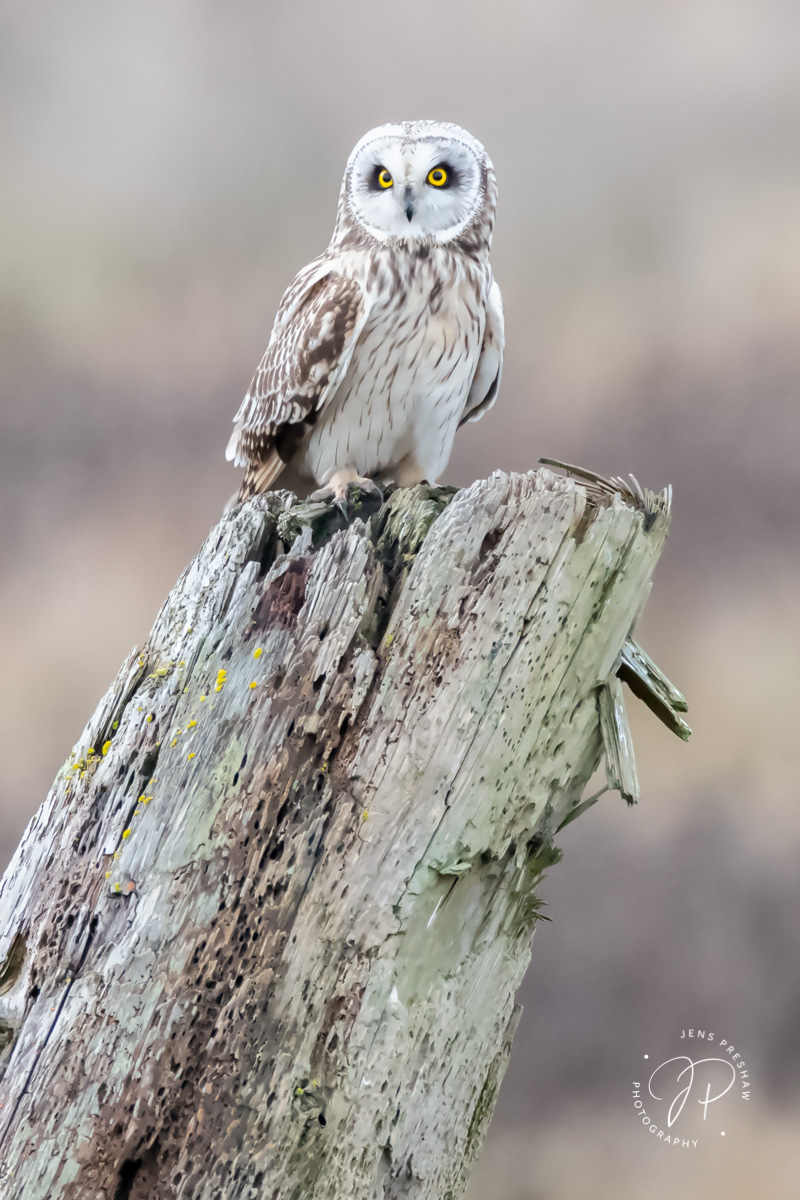 Short-eared Owl, Asio flammeus, Male, Stump, British Columbia, Canada , photo