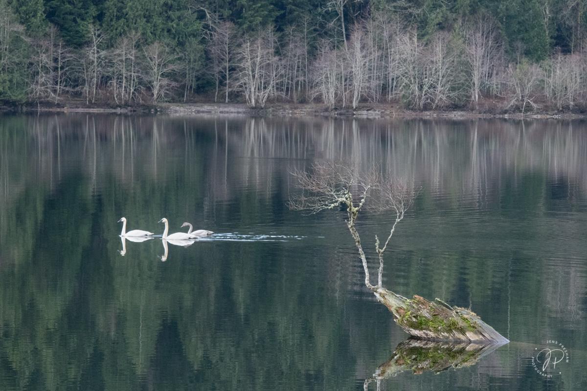 Trumpeter Swans, Cygnus Buccinator, Adult, Juvenile, Waterfowl, Mountain Lake, British Columbia, Canada, Fall, photo