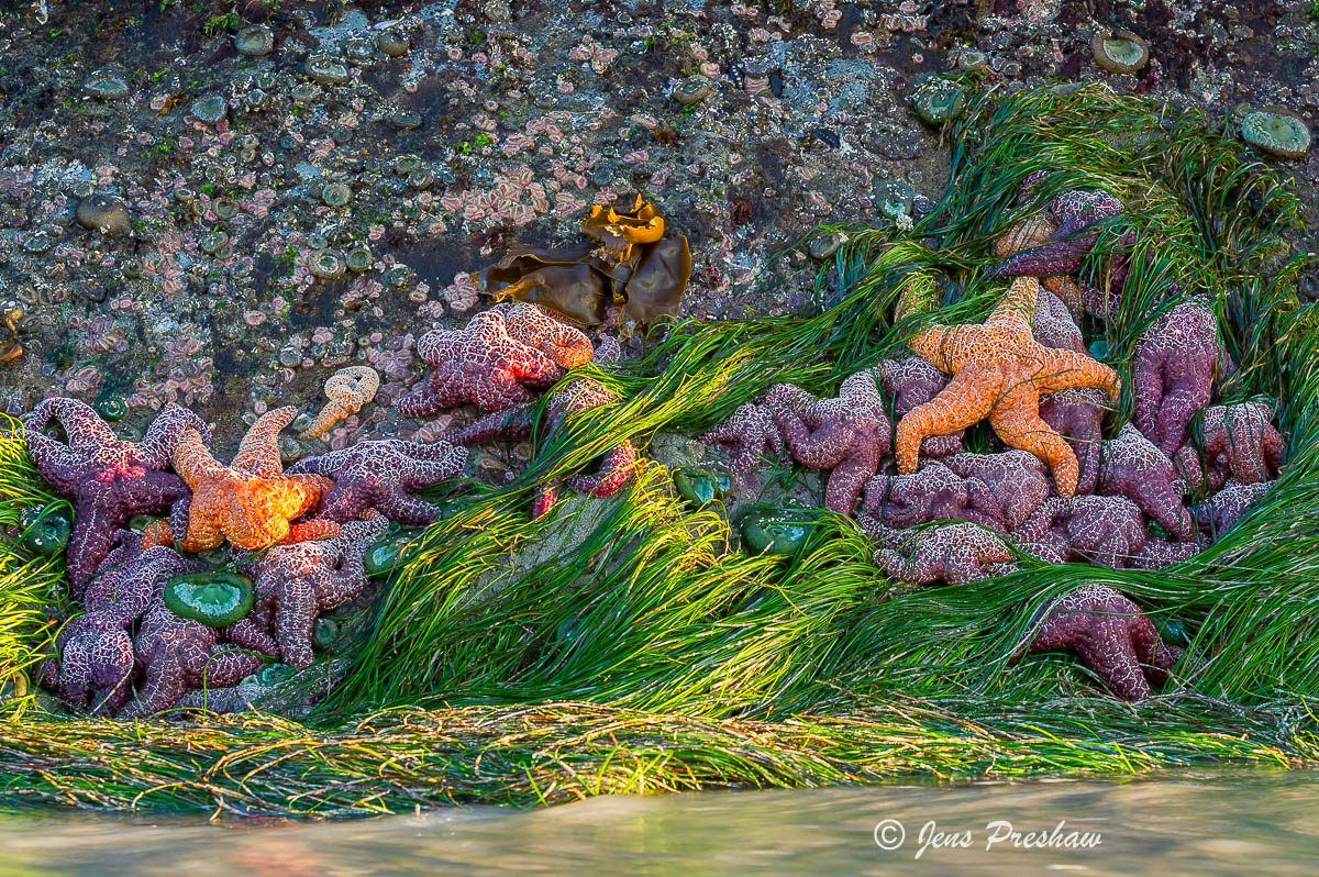 Ochre Sea Stars, Pisaster Ochracedus, Low Tide, Pacific Rim National Park Reserve, Vancouver Island, British Columbia, Canada, Pacific Ocean, Sunset, Summer  , photo