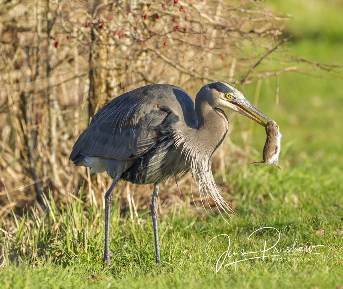 Pacific Great Blue Heron, Ardea herodias fannini, Townsend's Vole, Rodent, Wetlands, British Columbia, West Coast, Winter  , photo